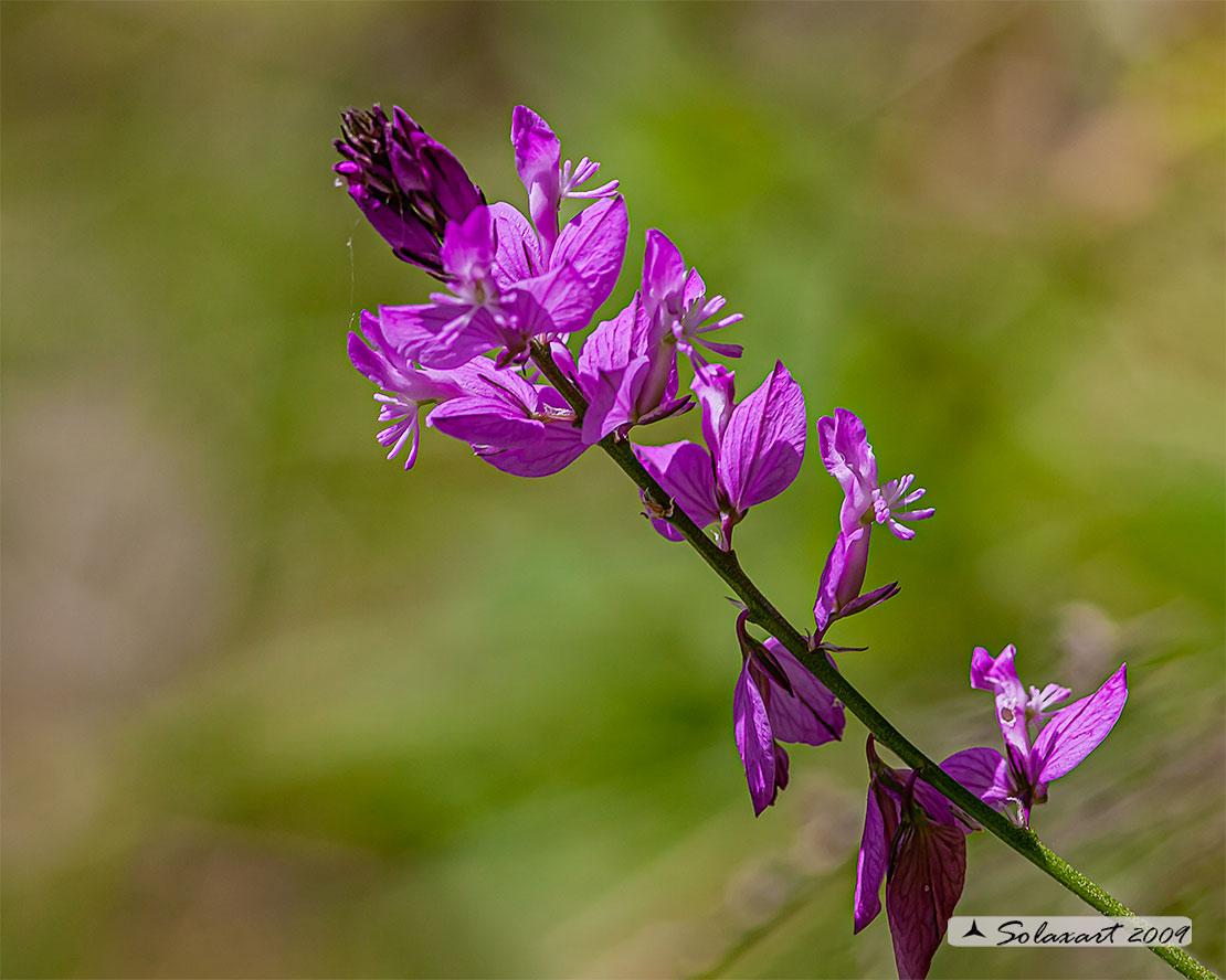 Laminaceae (?????) No, Polygalaceae: Polygala sp.