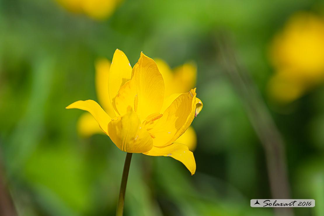 Tulipa sylvestris  (?) si