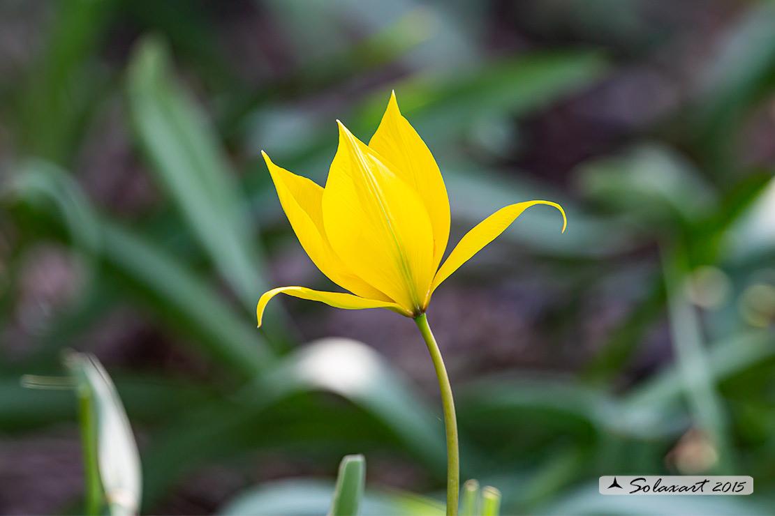 Iridaceae ?   No, Liliaceae: Tulipa sylvestris