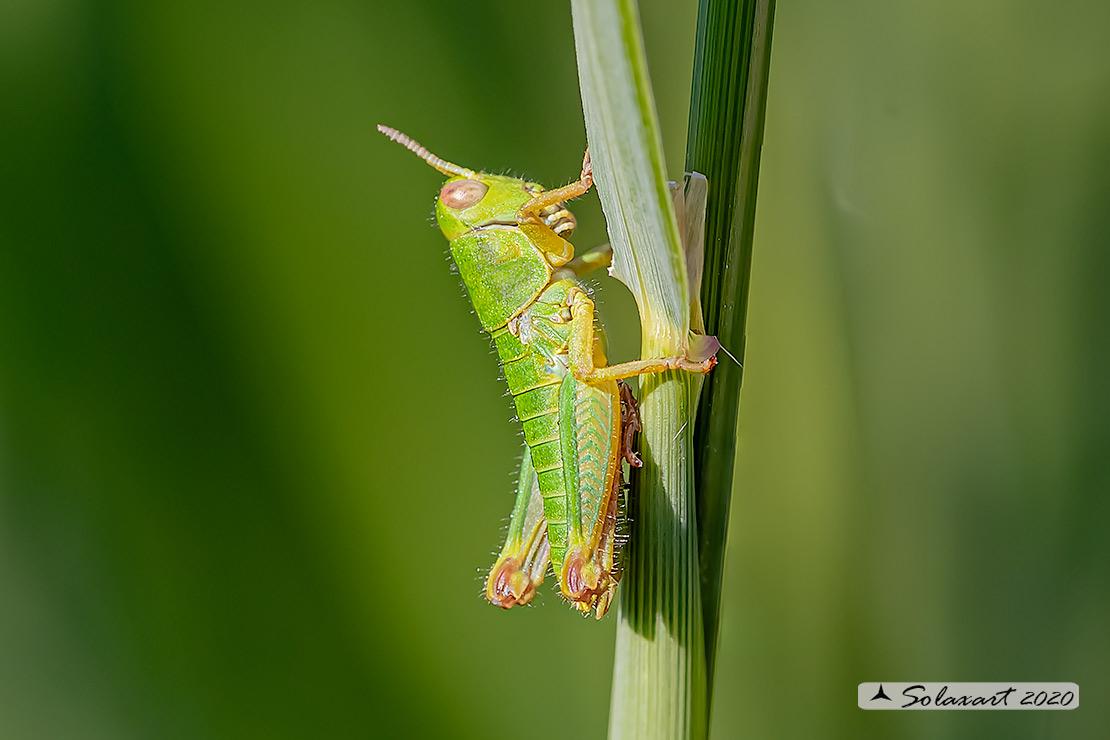 Acrididae: cfr. Odontopodisma decipiens insubrica