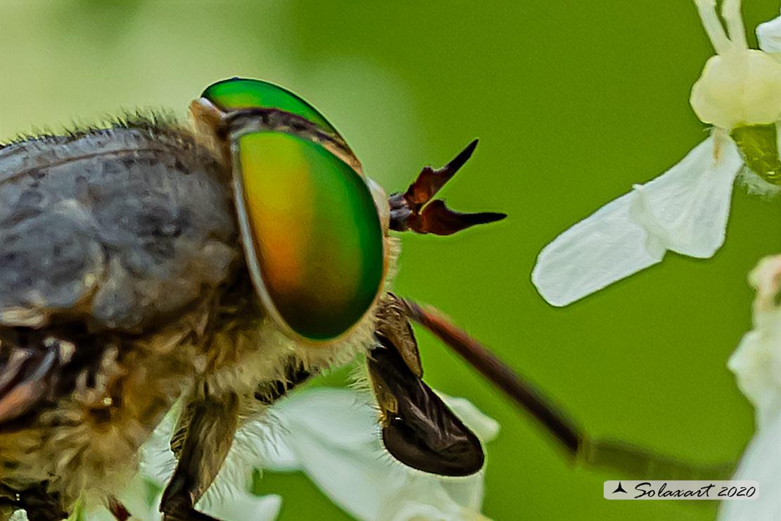 Tabanus bromius ?  No,  Philipomyia cfr. aprica, femmina