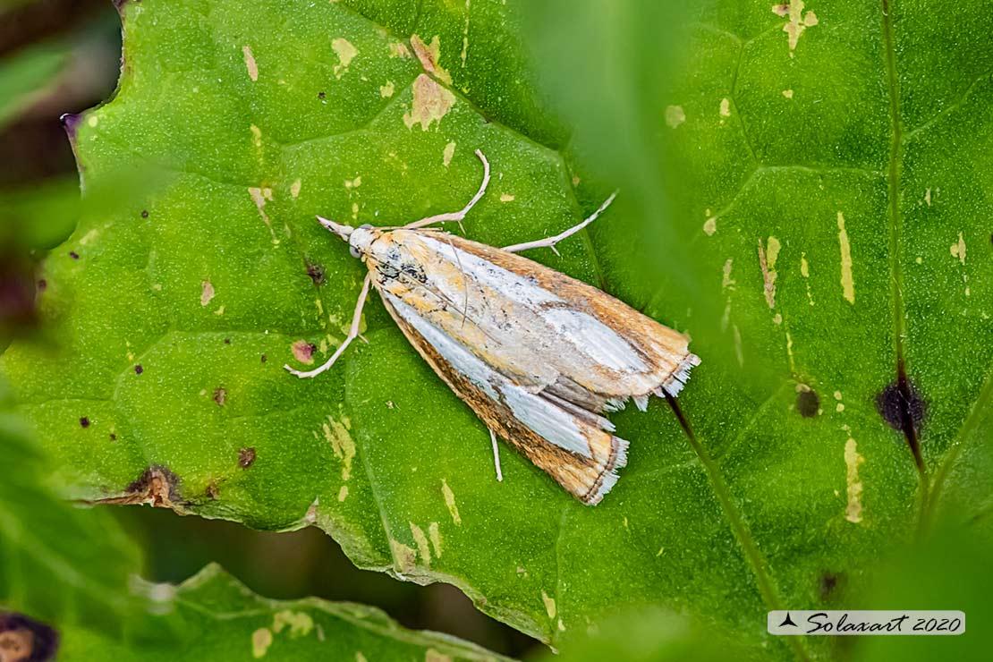 Agriphila selasella ?  No, Catoptria pinella (cfr.)