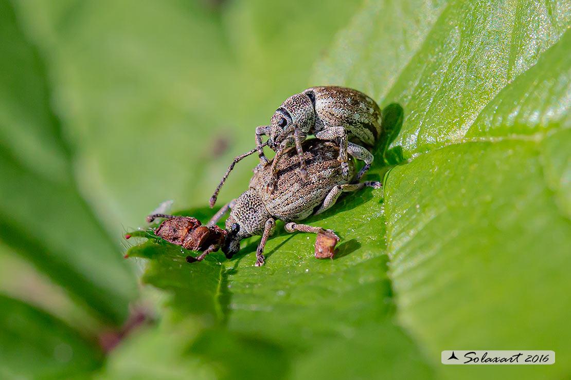 Curculionidae - Phyllobius pyri ?  No, Lepretius noxius