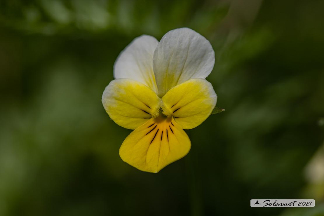 Viola calcarata (???)