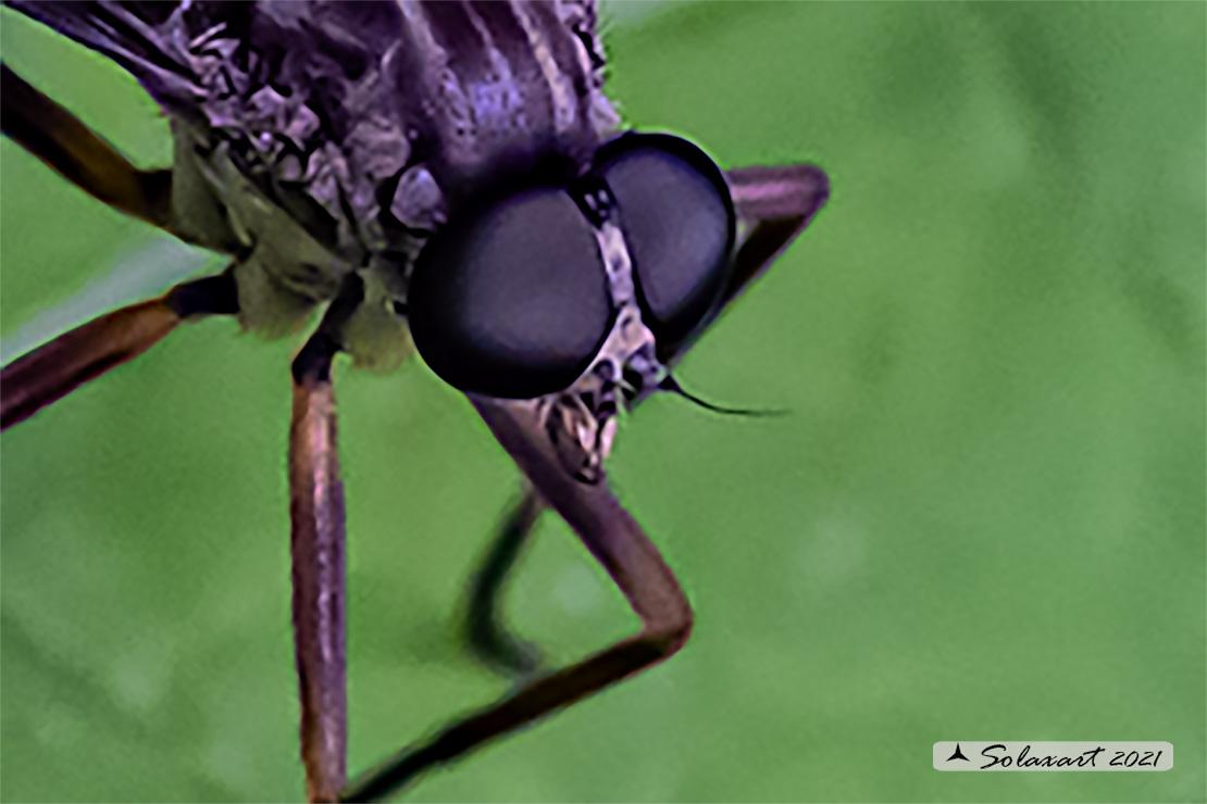 Rhagionidae: Rhagio cfr. rondanii, maschio