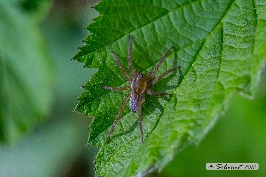 Lycosidae: Pirata sp.  - Bereguardo (PV)