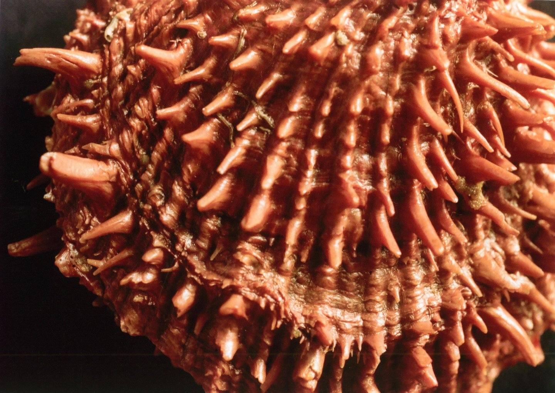 Spondylus cevikeri e Spondylus gaederopus:serie di crescita