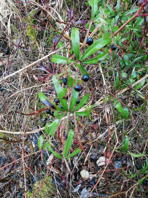Rampicante:  Rubia peregrina