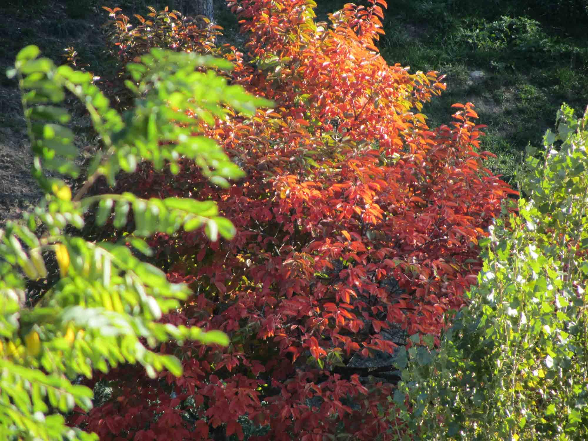 albero dalle foglie rosse forum natura mediterraneo