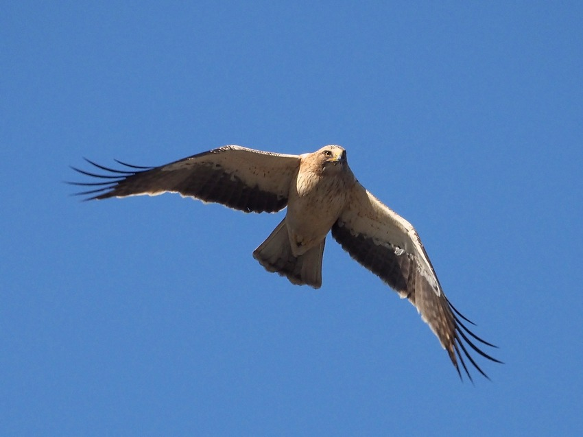 Aquila minore (Hieraaetus pennatus)