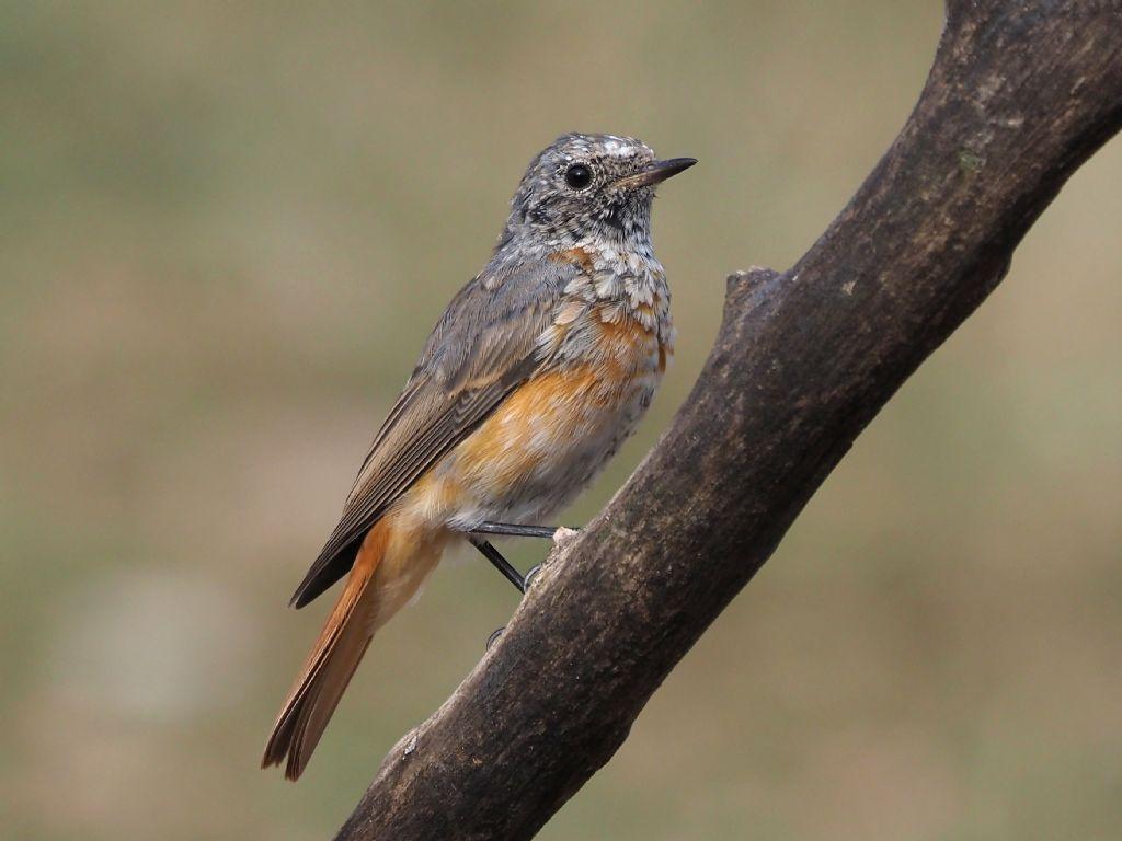 Cambio d''abito : Codirosso ♂️(Phoenicurus phoenicurus)