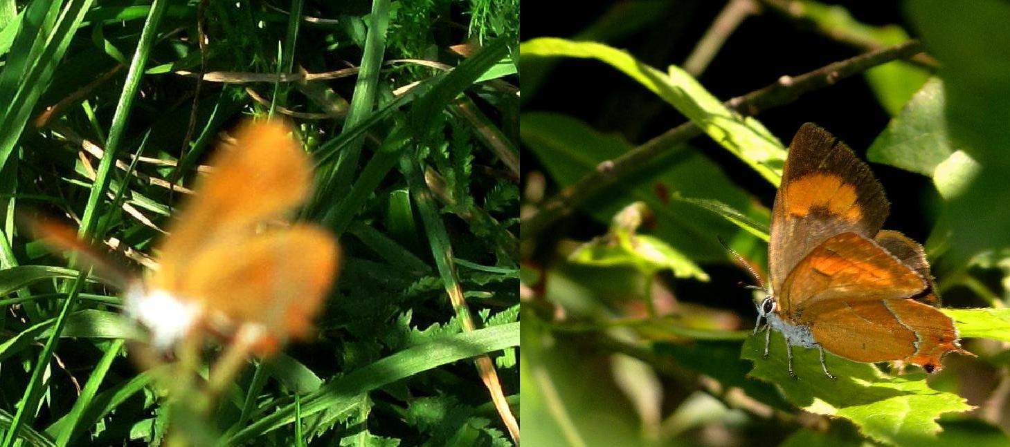 Lycaenidae da ID