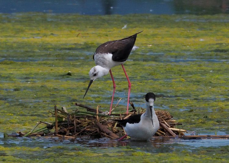 fotografare gli uccelli con la Mirrorless
