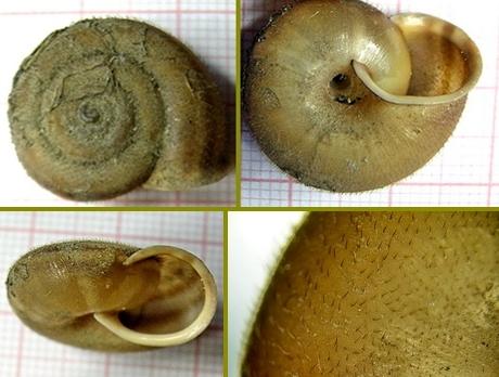 Chilostoma (Campylea) in Italia