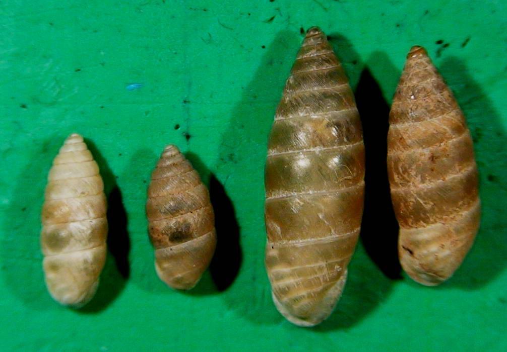 Differenze tra Granaria illyrica e Granaria frumentum