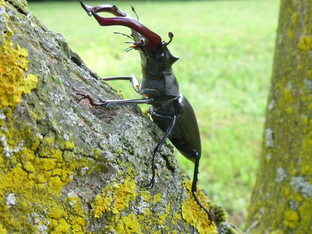 Magnifico Lucanus cervus (cervo volante)