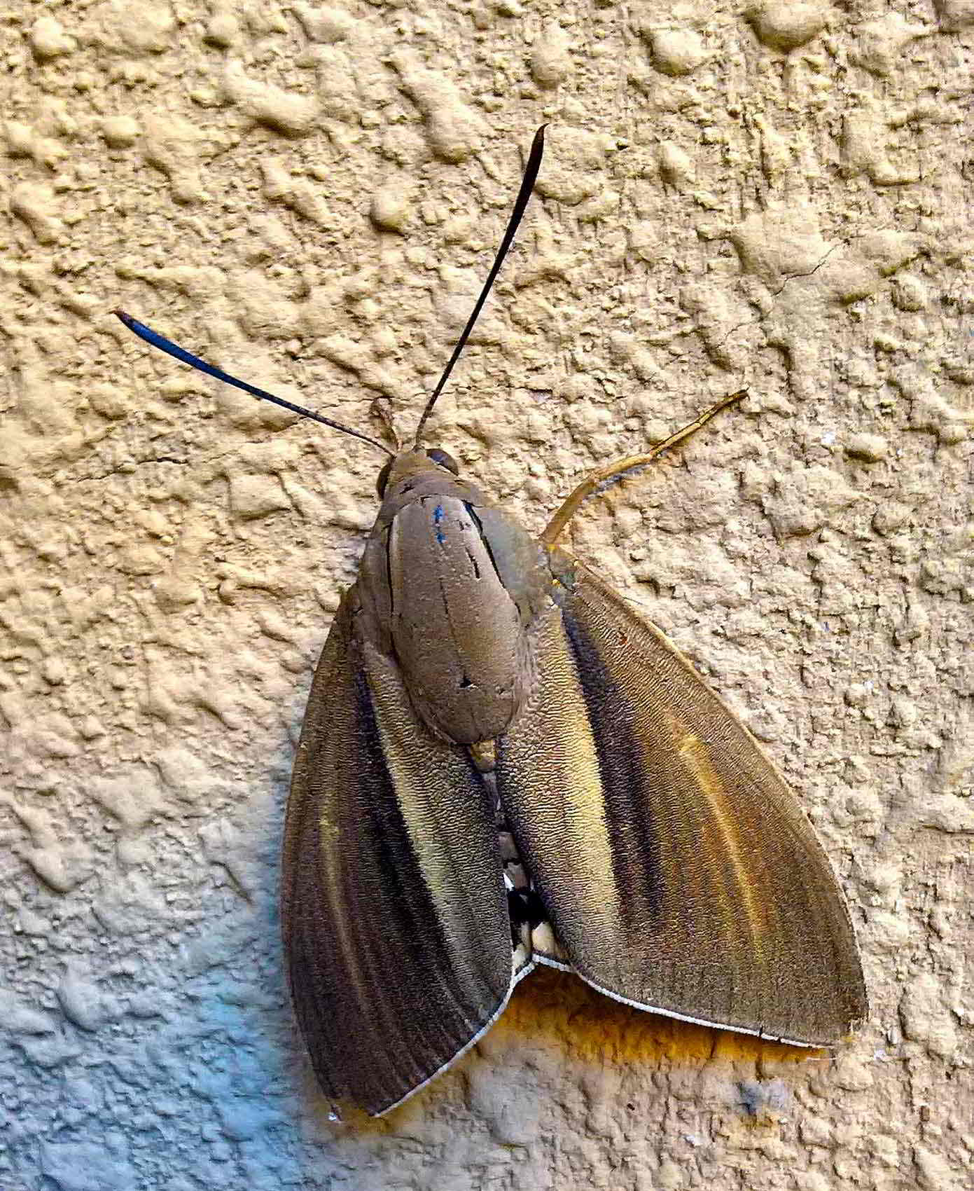 Conferma o meno individuazione Paysandisia Archon,Castniidae.