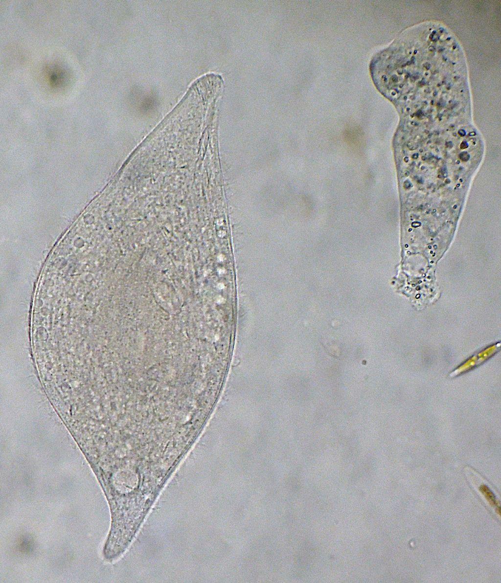 Loxophillum-meleagris