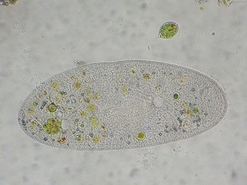 Paramecium-caudatum