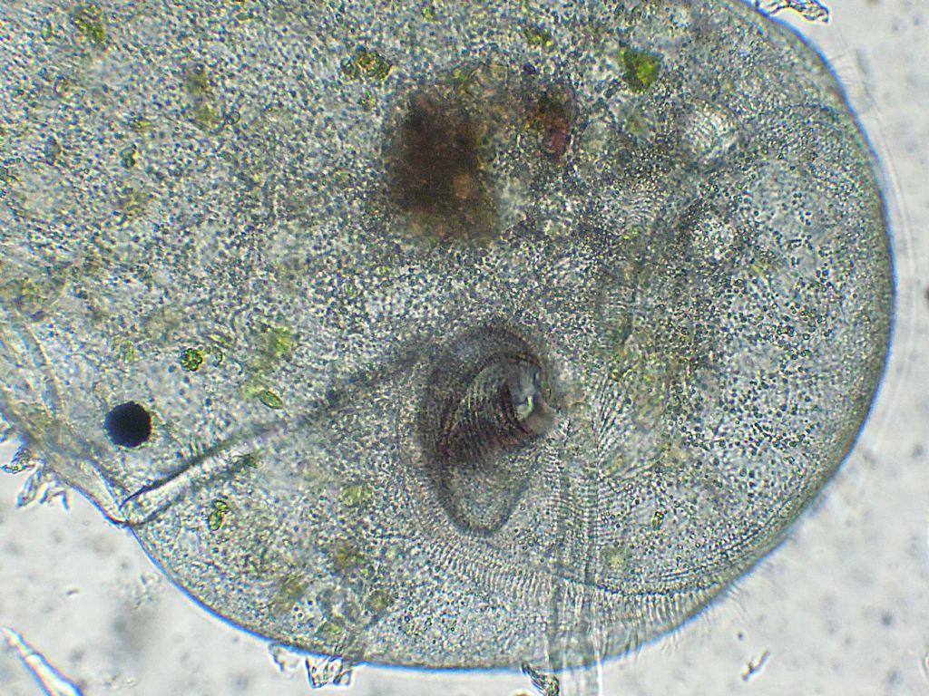 Stentor-polymorphus