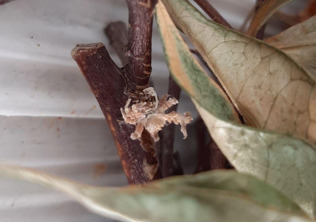 Insetto mai visto: ninfa di Ricania speculum (Fulgoromorpha Ricaniidae)