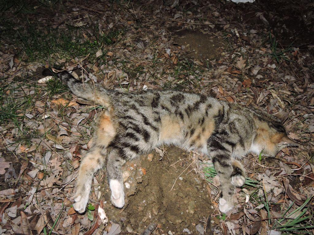 Gatto Selvatico No Gatto Domestico Forum Natura Mediterraneo