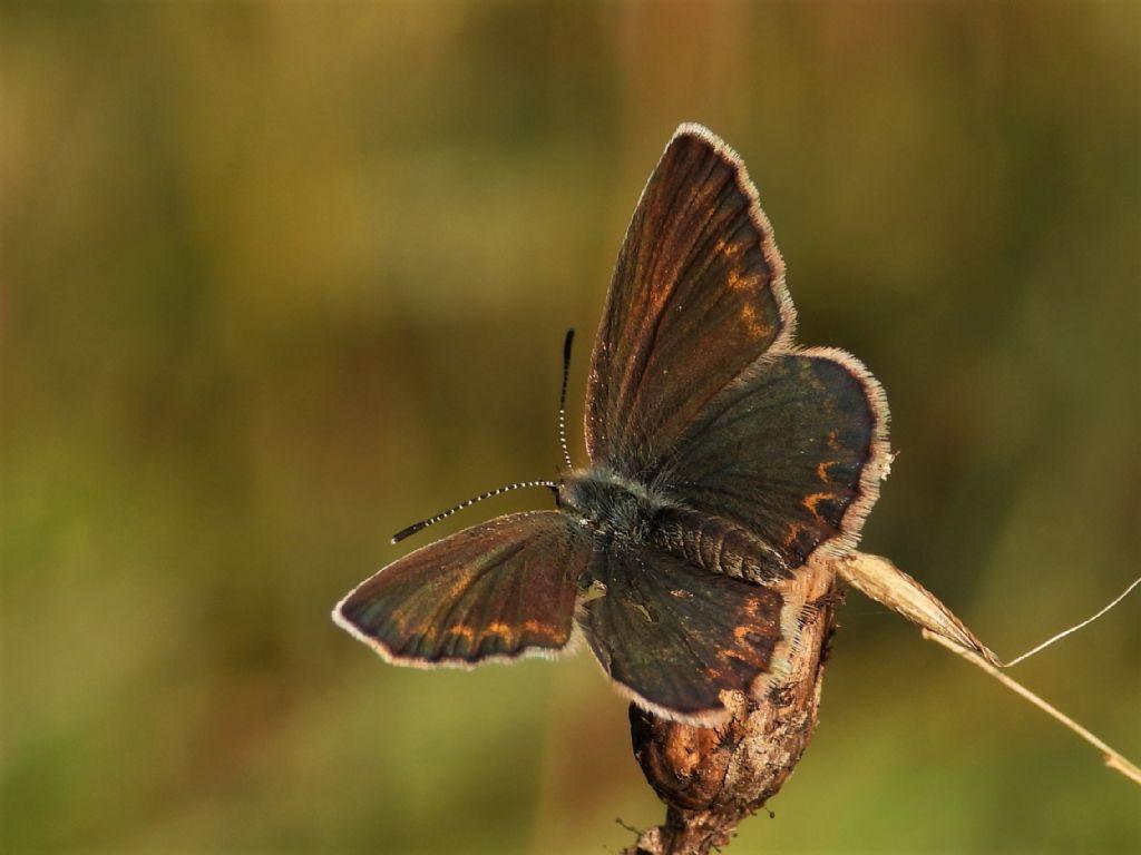 Lycaenidae: Plebejus argus, femmina