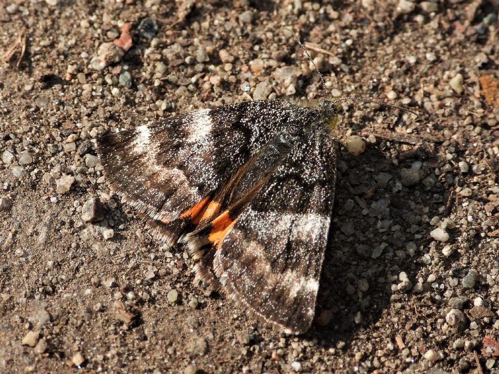 Boudinotiana notha - Geometridae