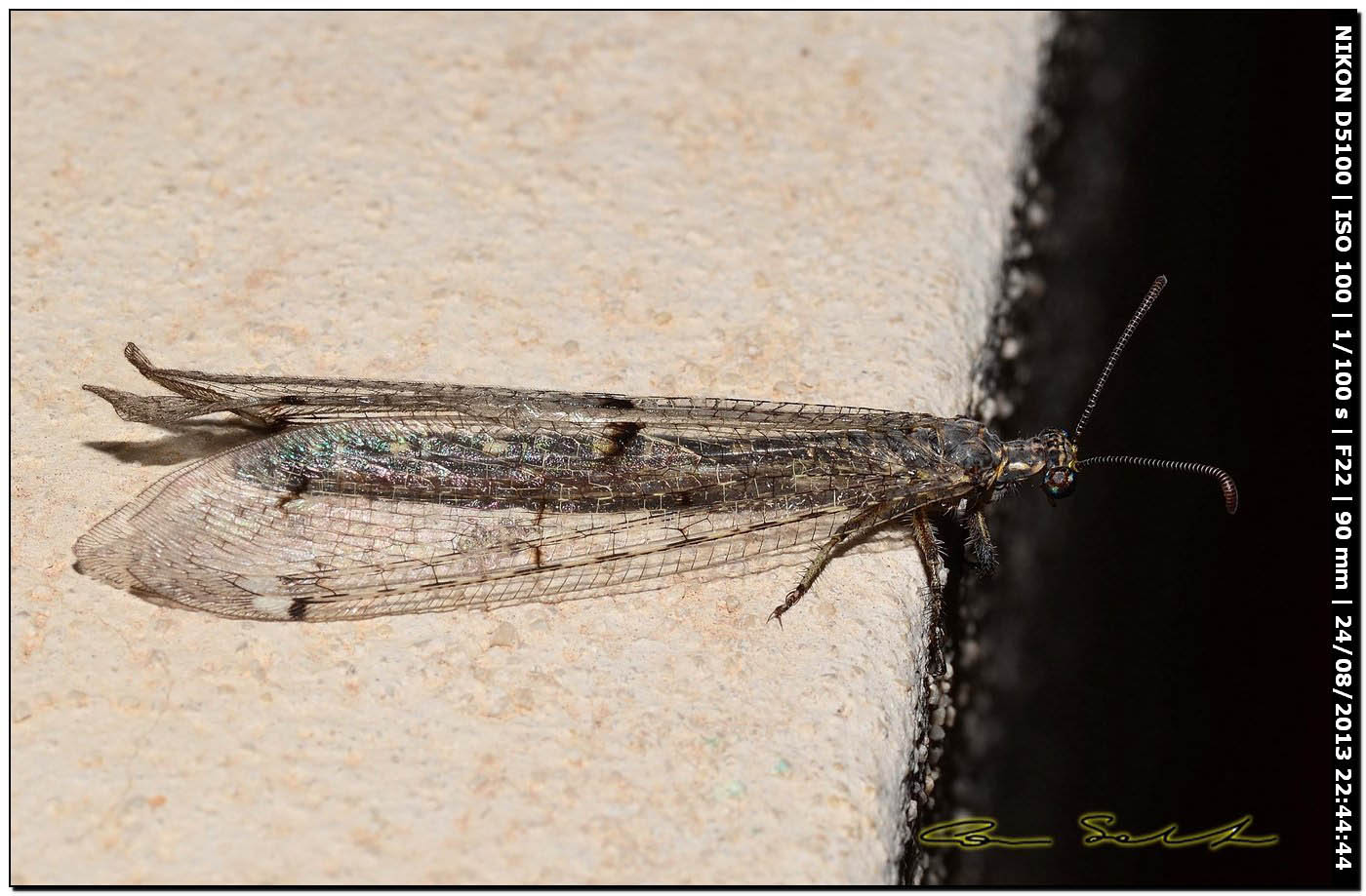 Myrmeleontidae, Distoleon tetragrammicus?