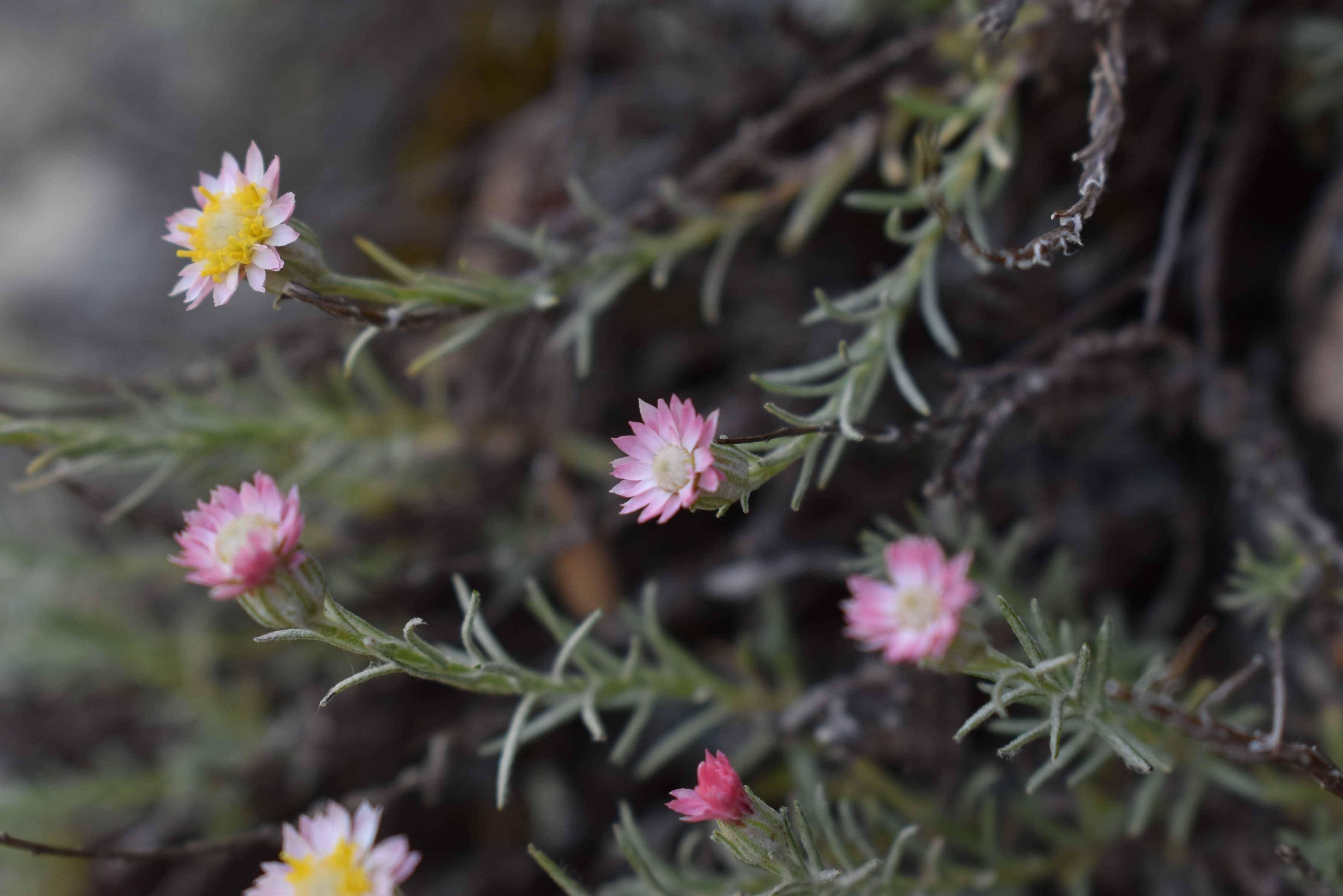 Elicriso del monte Linas color rosa
