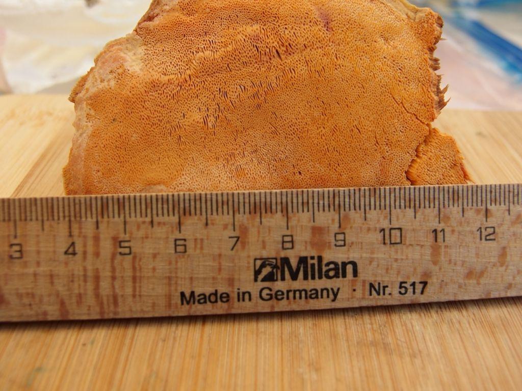 Poliporo arancione (Hapalopilus ochraceolateritius)