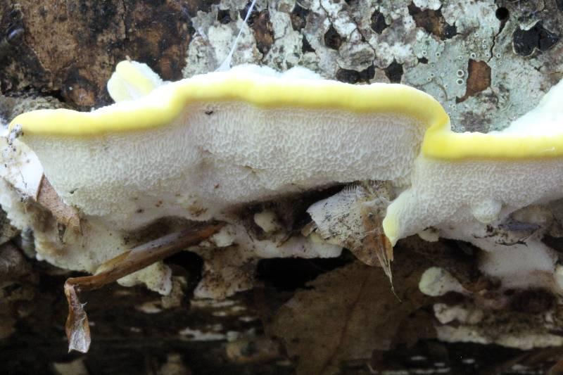 Antrodiella serpula