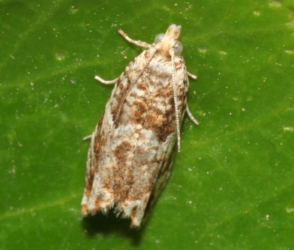 Piccola falena: Epinotia abbreviana - Tortricidae
