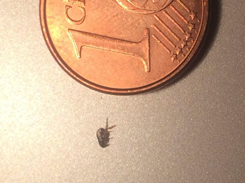 per favore - che insetto è? Una pulce