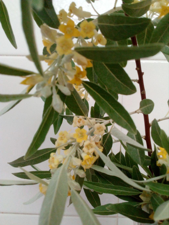 Che pianta è? Elaeagnus angustifolia  (Eleagnaceae)