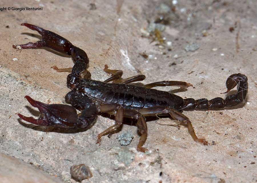 scorpioni dall''appennino ligure