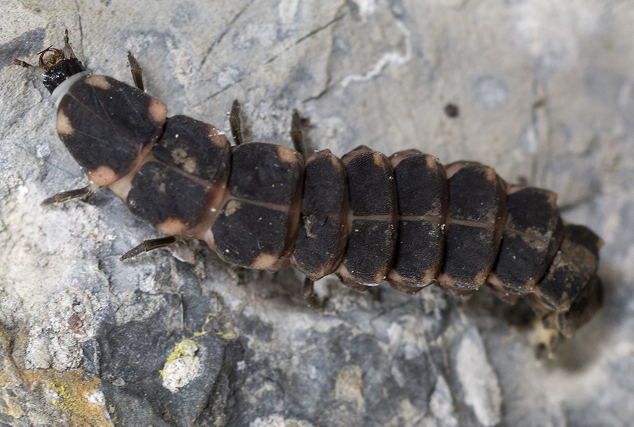 larva di Lampyridae ? Sì
