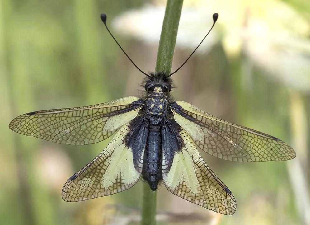 Libelloides coccajus, femmina