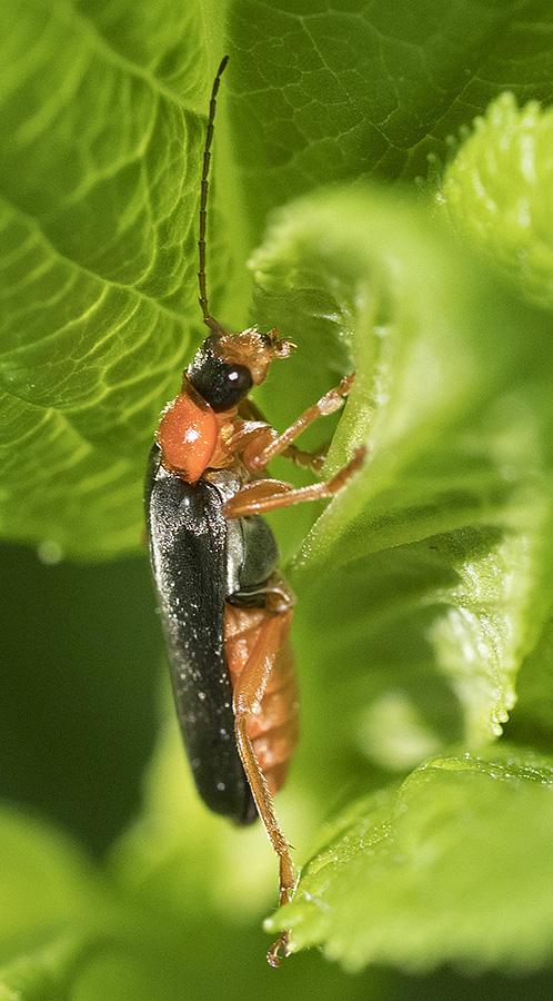 Cantaride dall''appennino ligure:  Cantharis pellucida