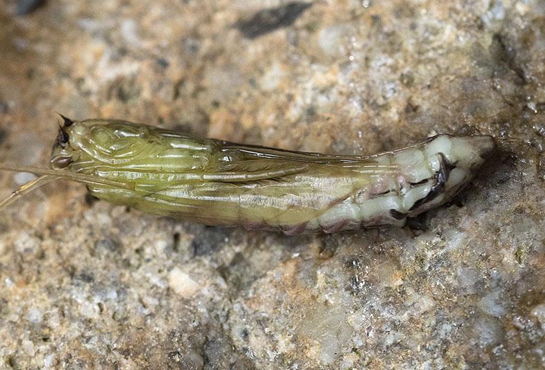 Larve di Odontocerum albicorne (Odontoceridae) e Potamophylax sp. (Limnephilidae)