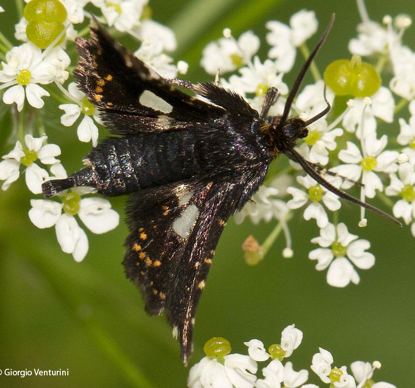 lepidottero da identificare  dalla liguria - Thyris fenestre