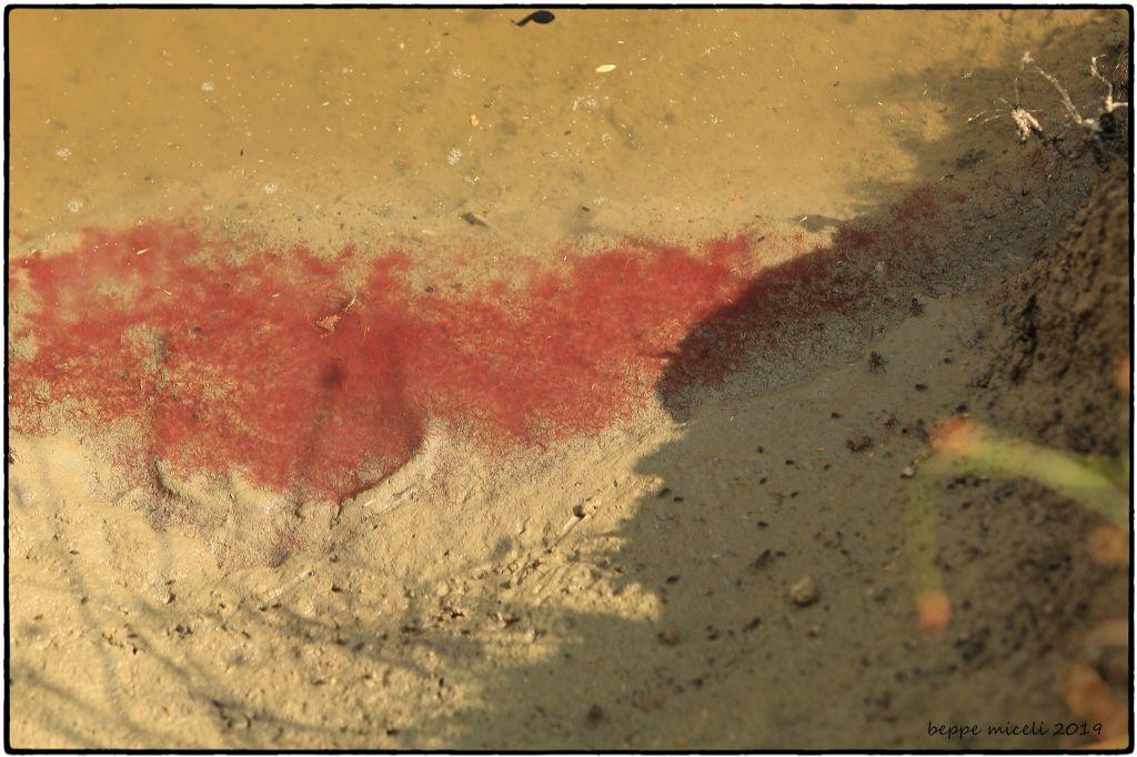 organismi rossi filiformi da determinare