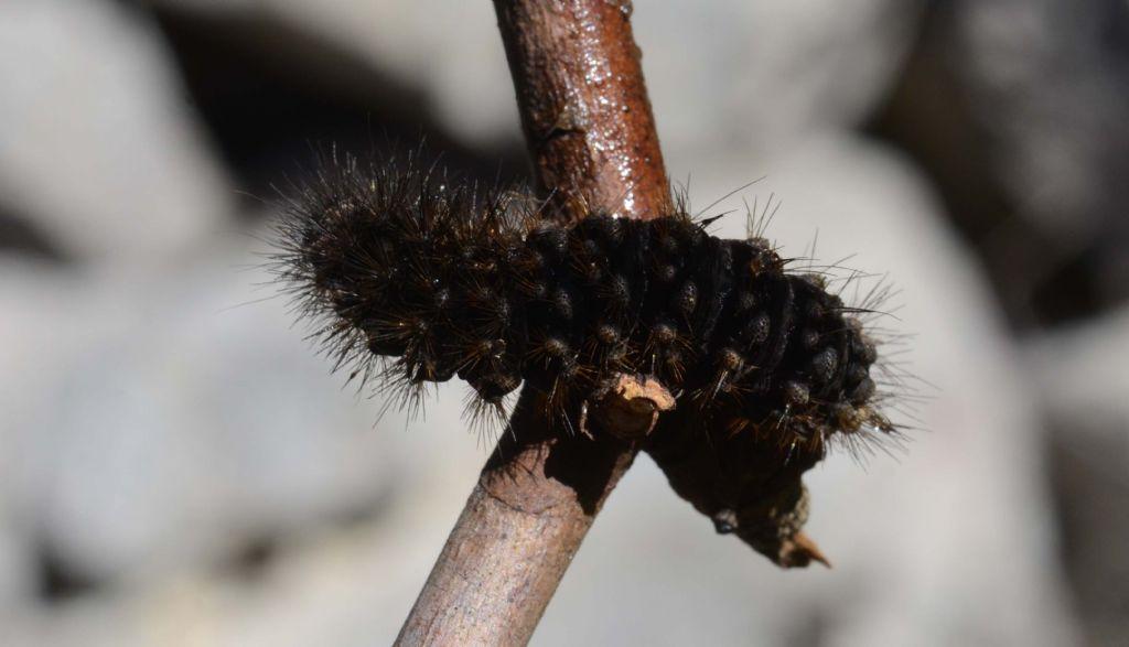 larva di Melitaea cinxia....?  No,...larva non identificabile