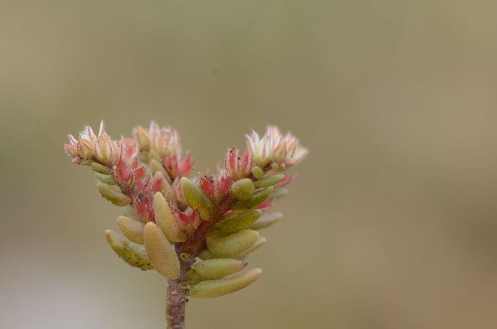 Sedum rubens / Borracina rossa