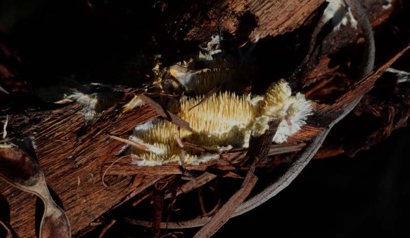 Su legno di Acacia retrodunale (Phanerochaete omnivora)