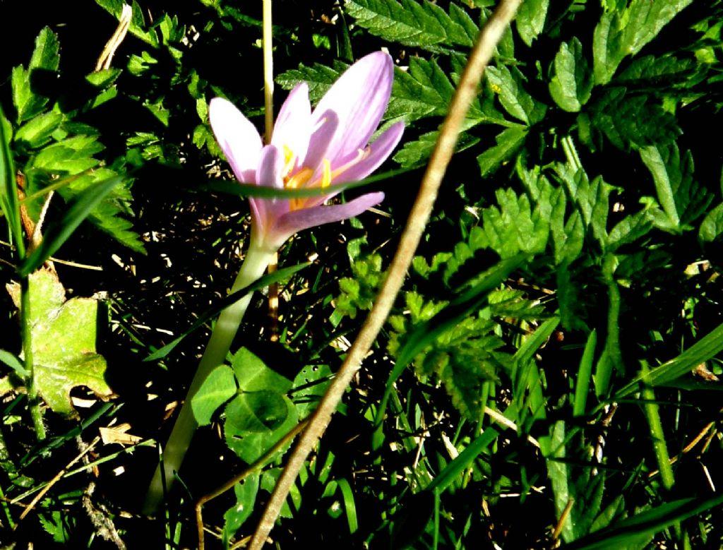 Colchico, o croco, oppure...- Colchicum sp. (Liliales Colchicaceae)