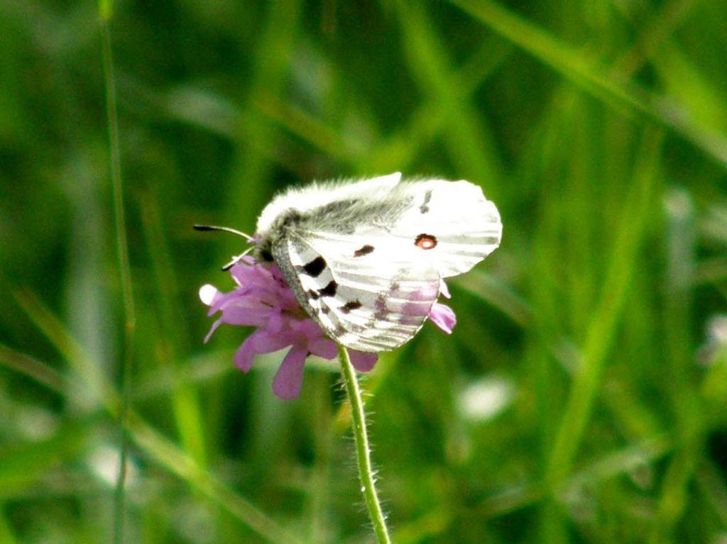 Alla ricerca della farfalla perduta:  Parnassius apollo (Papilionidae)