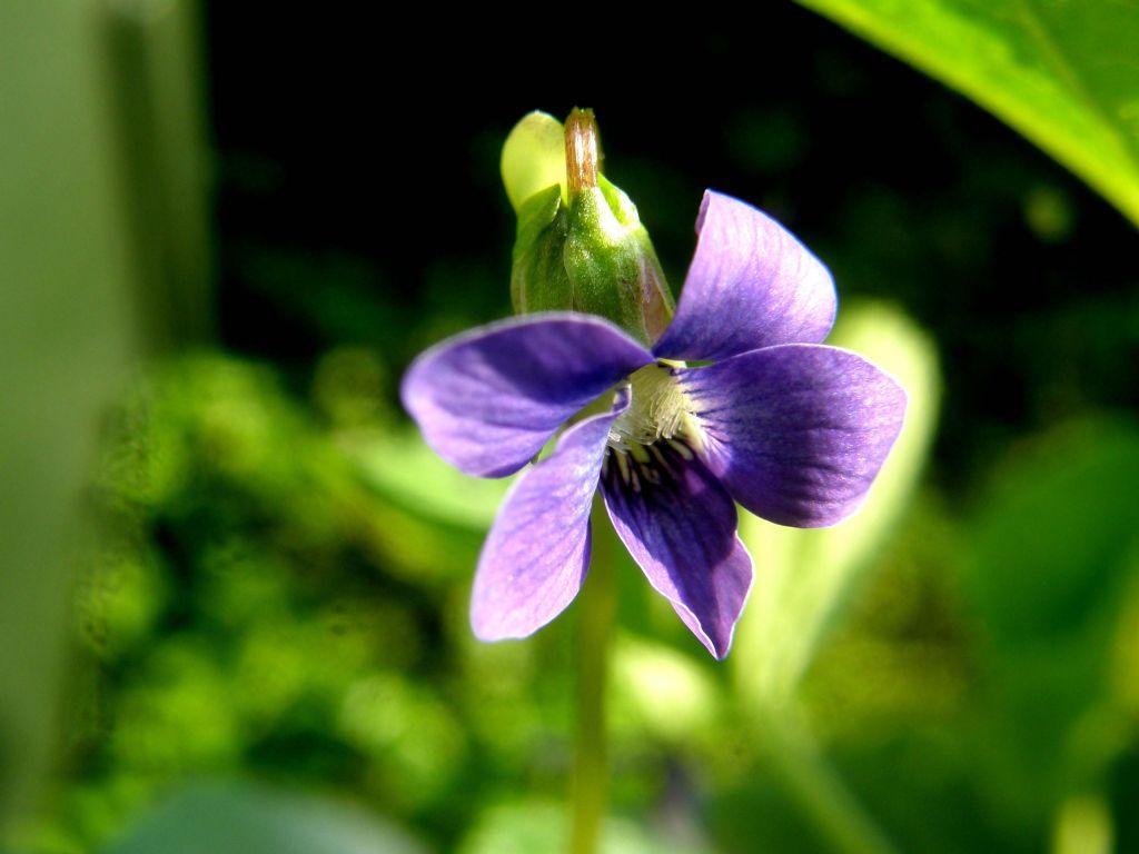 Viola sororia e Viola odorata