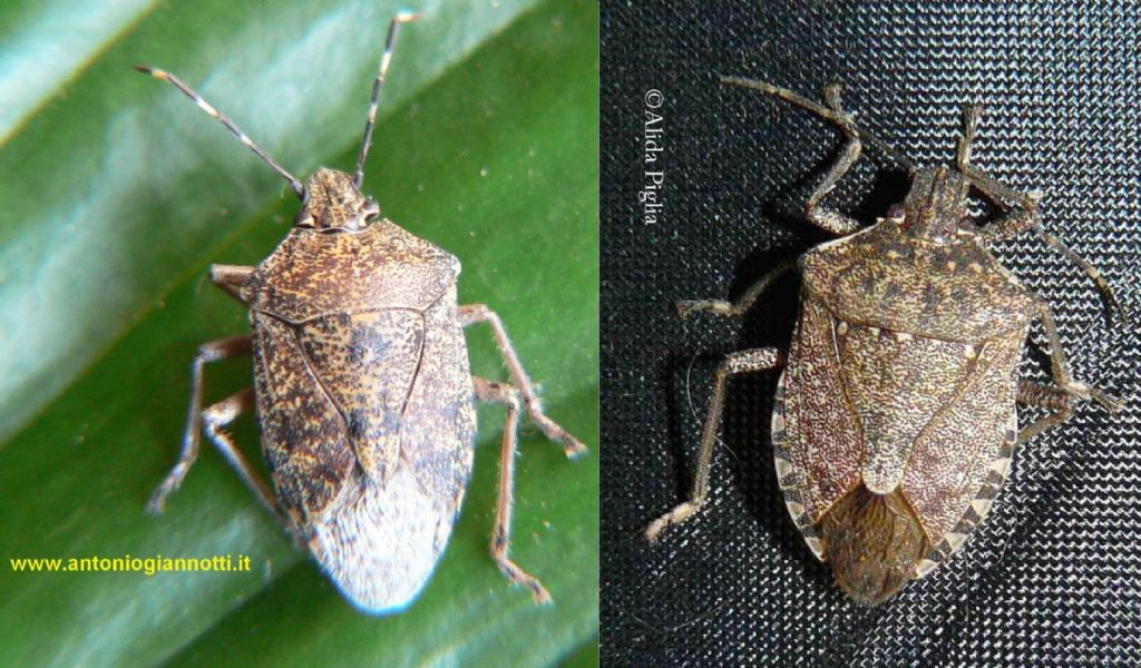 Pentatomidae: Halyomorpha halys - NUOVA PER L''ITALIA