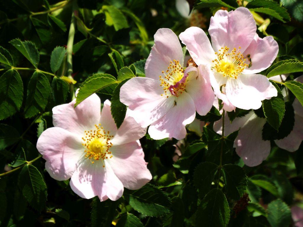 Rosa da identificare: Rosa sp. (mancano elementi per andare oltre)